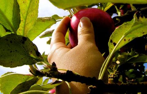 fruitplukken